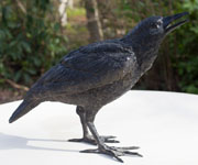 Bronze crow chirping